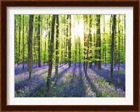 Beech Forest With Bluebells, Belgium Fine-Art Print
