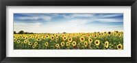 Sunflower Field, Plateau Valensole, Provence, France Fine-Art Print