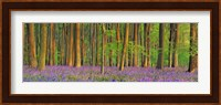 Beech Forest With Bluebells, Hampshire, England Fine-Art Print
