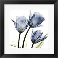 New Blue Tulips C54 Fine-Art Print