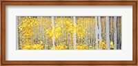 Panor Aspens Grey Forest Fine-Art Print