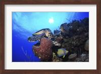 Hawksbill Sea Turtle eating, Castle Wall, Grand Cayman Fine-Art Print