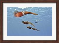 Reef Squid, USS Kittiwake, Grand Cayman Fine-Art Print