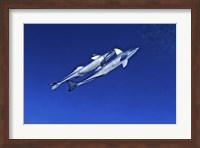 Playful remora's, Tarpon Tunnels, Grand Cayman Fine-Art Print