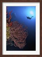 Gorgonian sea fan, Cayman Islands Fine-Art Print