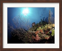 Gorgonian Sea Fans on Cayman's North Wall, Grand Cayman Fine-Art Print
