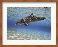 Bottlenose dolphin swimming the Barrier Reef, Grand Cayman Fine-Art Print