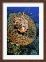 Scorpionfish hiding in a barrel sponge Fine-Art Print
