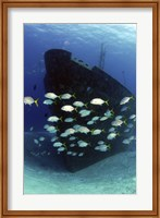 School of horse-eye jack fish swmming by the Ray of Hope shipwreck Fine-Art Print