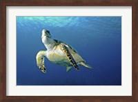 Hawksbill sea turtle ascending, Nassau, The Bahamas Fine-Art Print