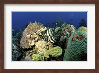 Pair of banded butterflyfish roaming the reef, Nassau, The Bahamas Fine-Art Print