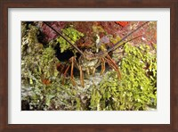 Spiny lobster hiding in the reef, Nassau, The Bahamas Fine-Art Print