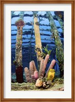 Tube sponges on the Wreck of the Willaurie, Nassau, The Bahamas Fine-Art Print
