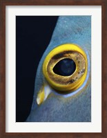 Close-up view of a French Angelfish eye Fine-Art Print