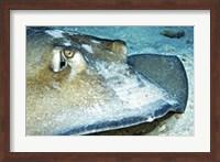 Close-up view of a Female Southern Atlantic Stingray Fine-Art Print