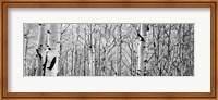 Aspen trees in a forest BW Fine-Art Print