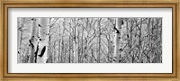 Aspen trees in a forest BW Fine-Art Print