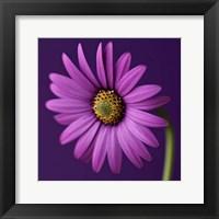 Purple Beauty Fine-Art Print