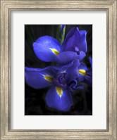 Iris at Dusk Fine-Art Print