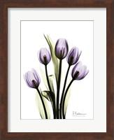 Regal Tulip B13 Fine-Art Print