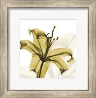 A Golden Lily Fine-Art Print
