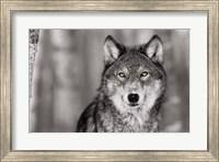 Pop of Color Wolf Fine-Art Print