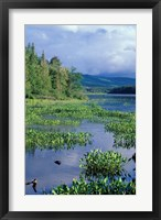 Pickerel Weed, Pontook Reservoir, Androscoggin River, New Hampshire Fine-Art Print