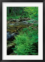 Lady Fern, Lyman Brook, The Nature Conservancy's Bunnell Tract, New Hampshire Fine-Art Print