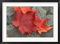 Sugar Maple Foliage in Fall, Rye, New Hampshire Fine-Art Print