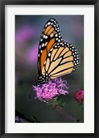 Monarch Butterfly on Northern Blazing Star Flower, New Hampshire Fine-Art Print