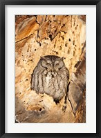 Eastern Screech Owl, Rye, New Hampshire Fine-Art Print