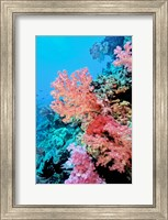 Colorful Sea Fans and other Corals, Fiji, Oceania Fine-Art Print