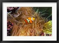 Close up of a Clown Fish in an Anemone, Nadi, Fiji Fine-Art Print