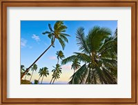 Nanuku Levu, Fiji Islands palm trees with coconuts, Fiji, Oceania Fine-Art Print