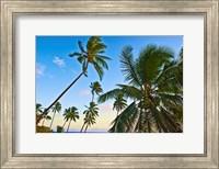 Nanuku Levu, Fiji Islands palm trees with coconuts, Fiji, Oceania Fine-Art Print