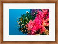 Multicolor Soft Corals, Coral Reef, Bligh Water Area, Viti Levu, Fiji Islands Fine-Art Print