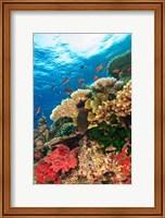 Fairy Basslet fish Swimming, Viti Levu, Fiji Fine-Art Print