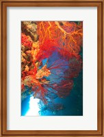 Gorgonian Sea Fan, Marine life, Fiji Fine-Art Print