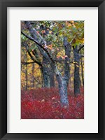 Blueberries in Oak-Hickory Forest in Litchfield Hills, Kent, Connecticut Fine-Art Print