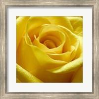 Yellow Rose Fine-Art Print