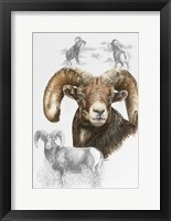 Big Horn Sheep Fine-Art Print