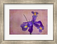 Dutch Iris II Fine-Art Print