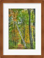 Birch Over The Trail Fine-Art Print