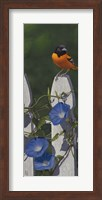 Oriole Morning Glories Fine-Art Print