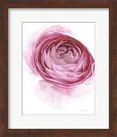 Pink Lady IV Fine-Art Print