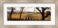 Vines in Far Niente Winery, Napa Valley, California Fine-Art Print