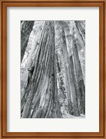 Redwoods Forest III BW Fine-Art Print