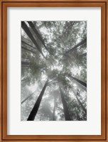 Fir Trees I Bright Fine-Art Print