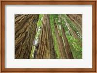 Redwoods Forest IV Fine-Art Print