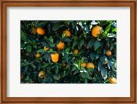 Oranges Growing on a Tree, California Fine-Art Print